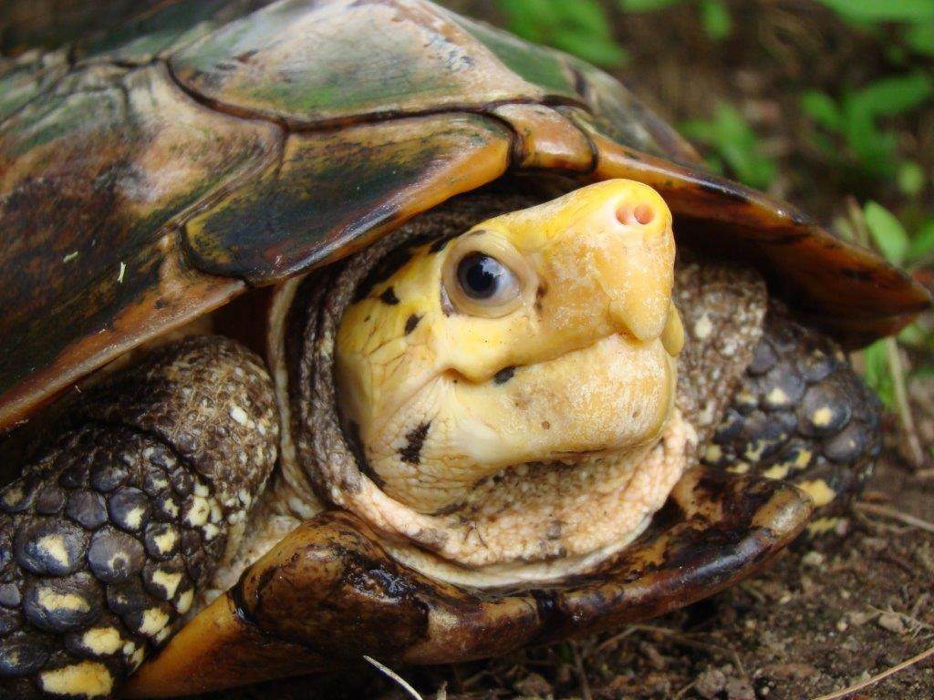Sulawesi Forest Turtle