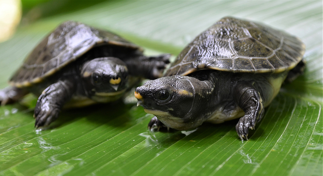 Central American River Turtle Hicatee Dermatemys mawii