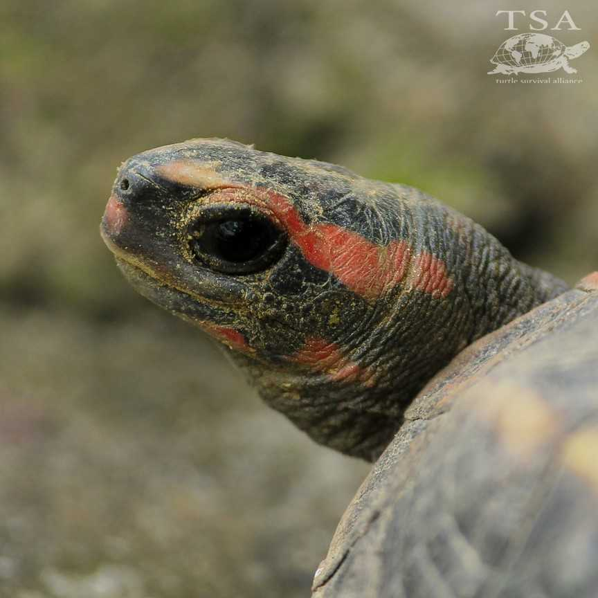 Tricarinate Hill Turtle (Melanochelys tricarinata)