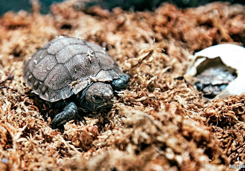 hatchling_of_the_asian_giant_tortoise